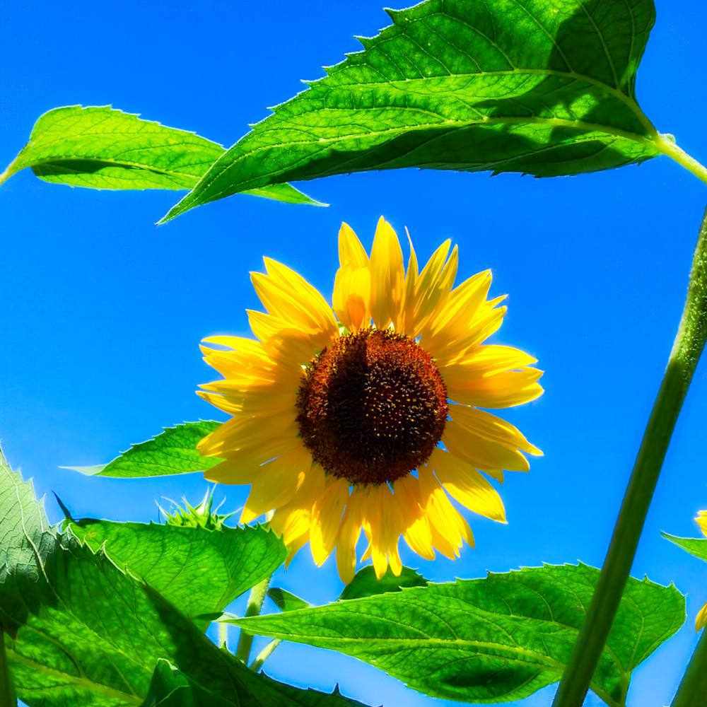 Sunflower series08 crgoqe