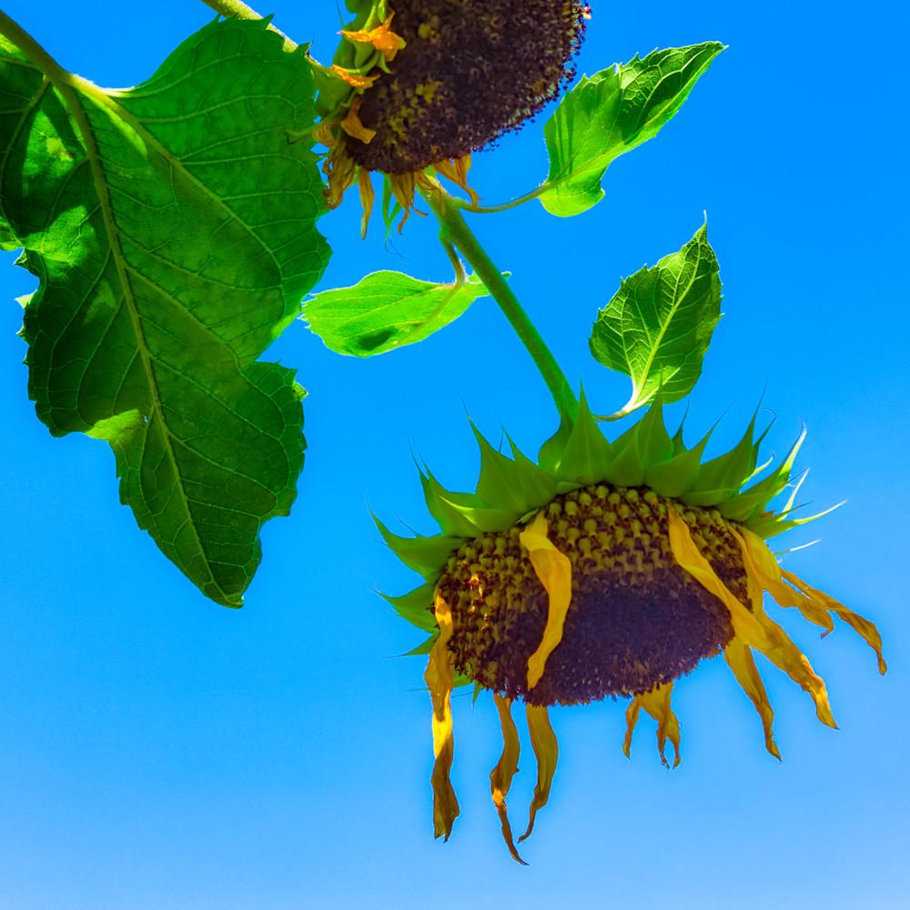Sunflower series25 jsg1a2