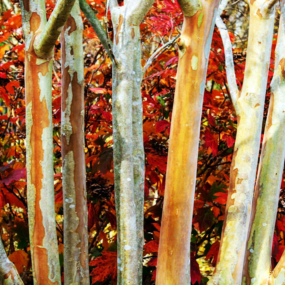 Mphillip   birch in fall isrb2q