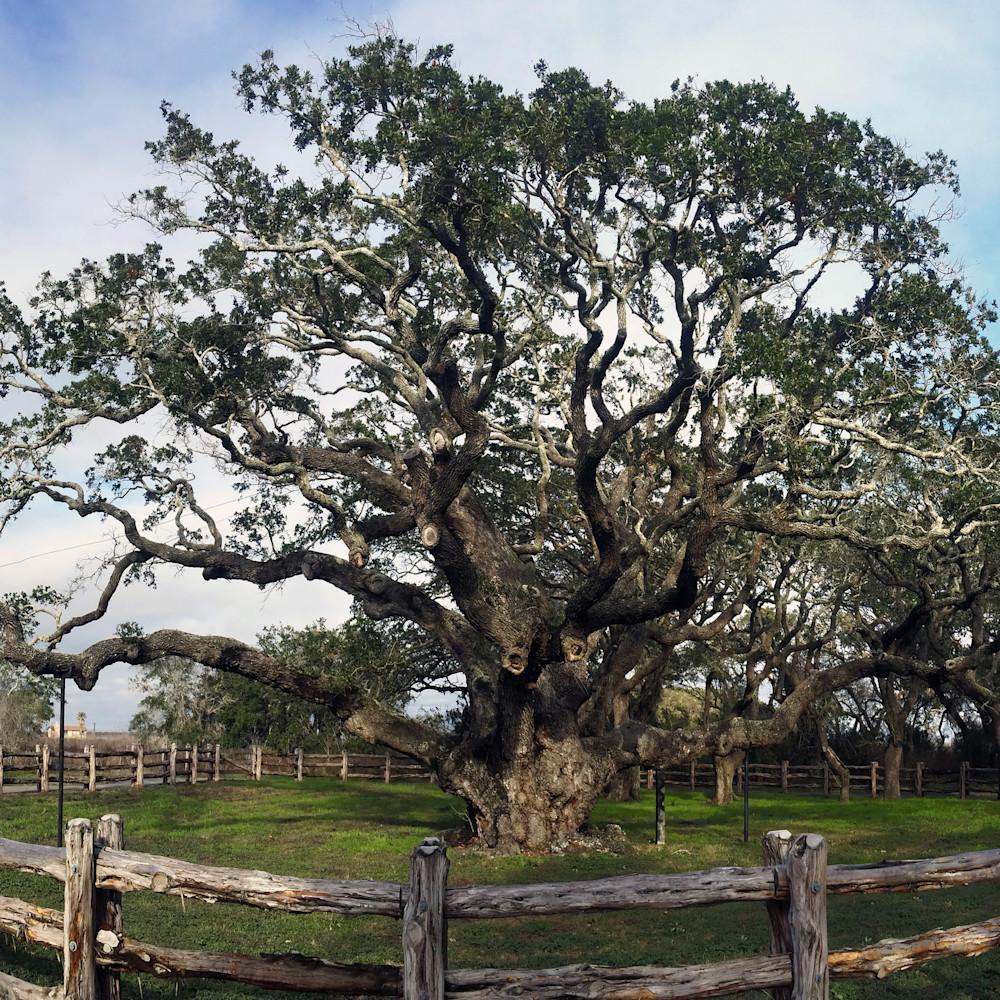 Mphillip   big tree near rockport ttswpc