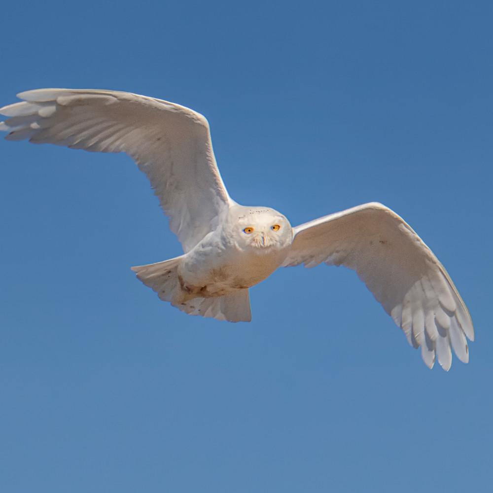 Chappy snowy owl in flight 2020 omnxaa