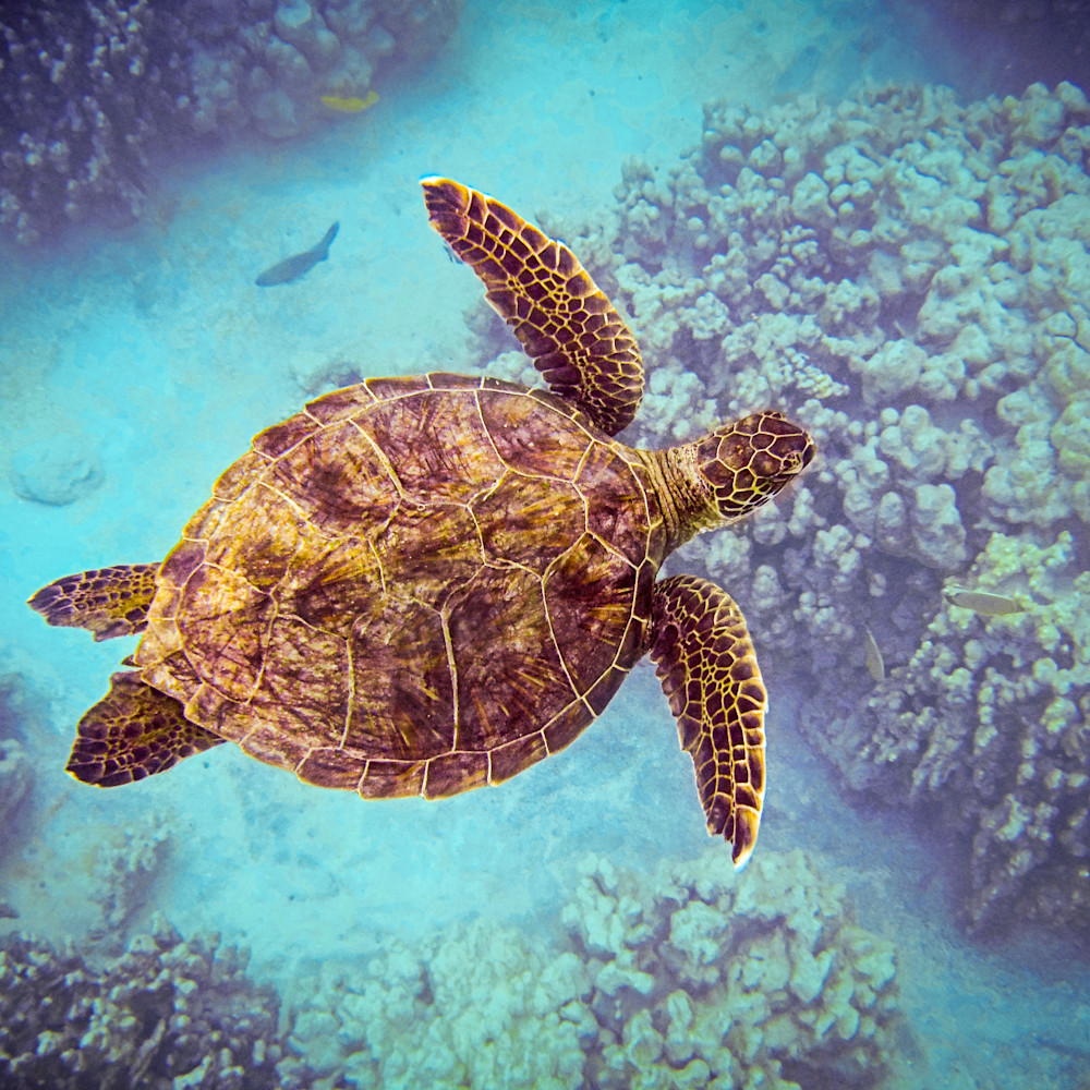 Swimming honu from above vo61lh