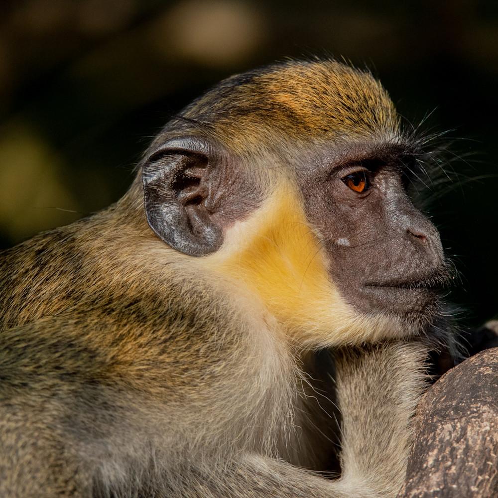 Vervet monkey fcvkox