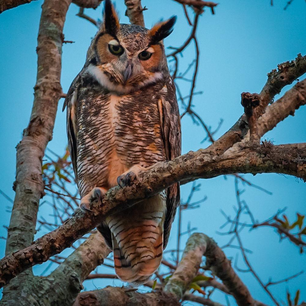 Great horned owl csokzv