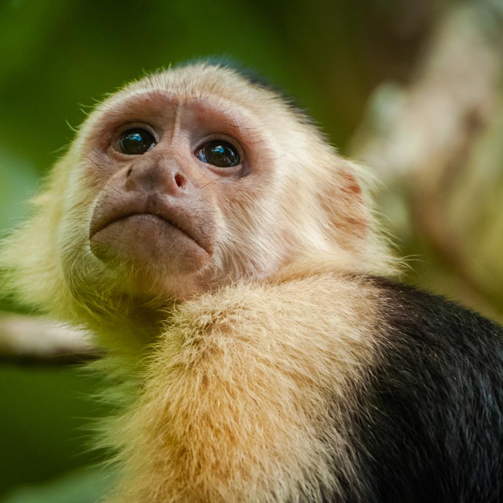 White faced capuchin monkey a4jria