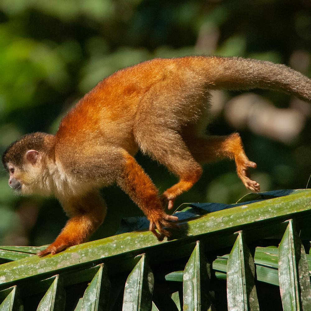 Squirrel monkey vtnsx2