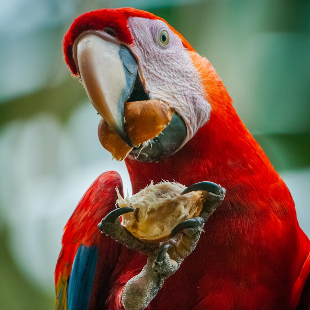 Scarlet macaw zskjnj