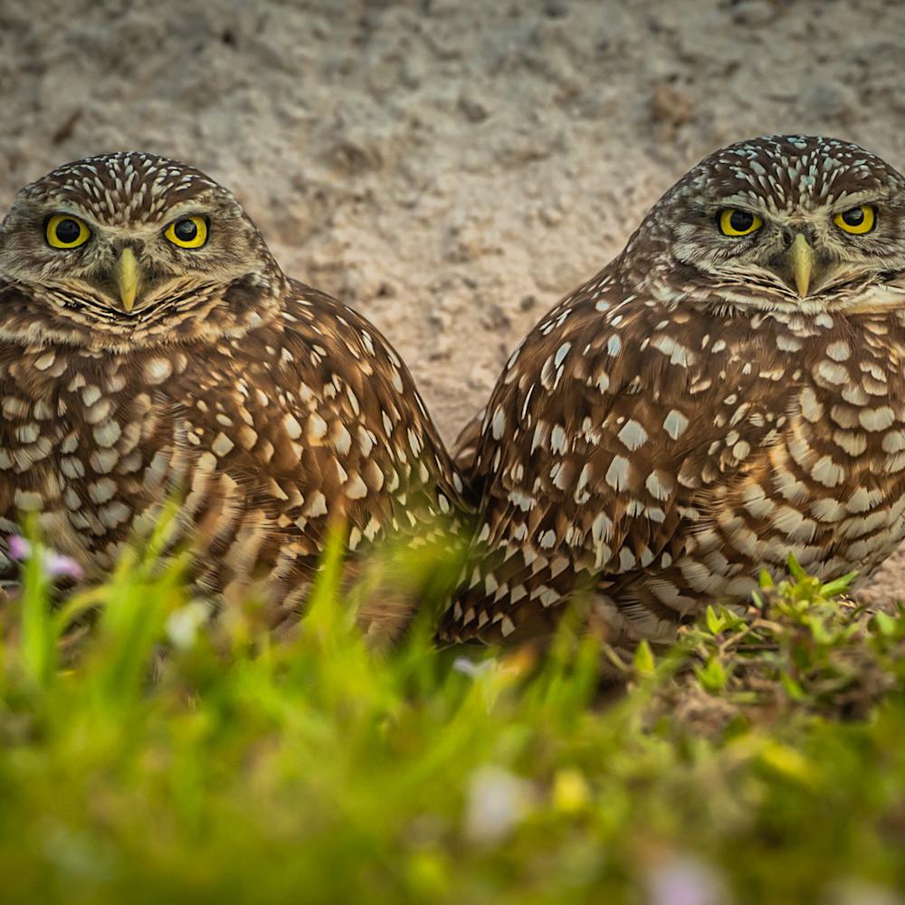 Burrowing owls om6uo3