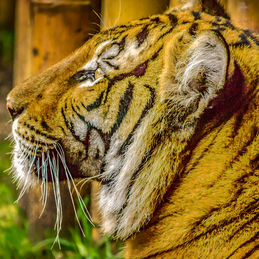Tiger prayer qhcd18