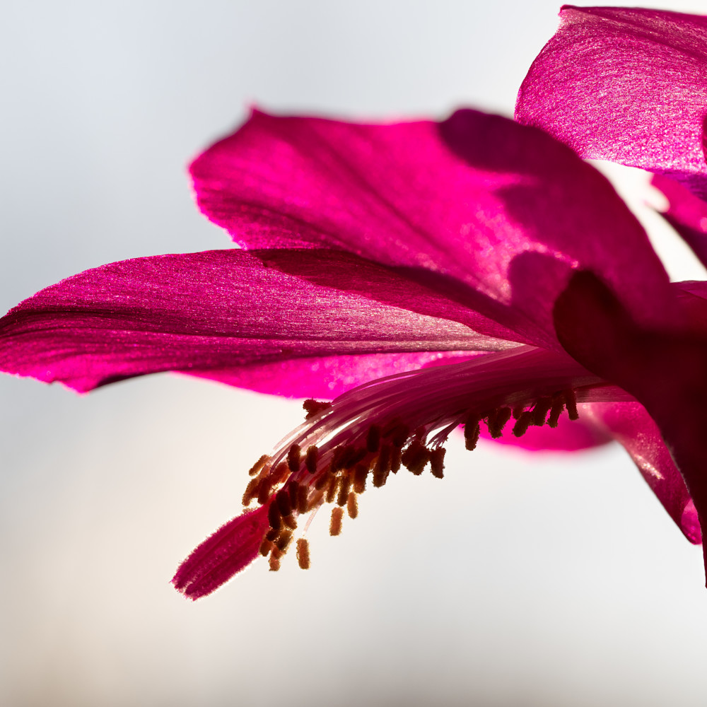 Christmas cactus o5642 70hf hgtgoh