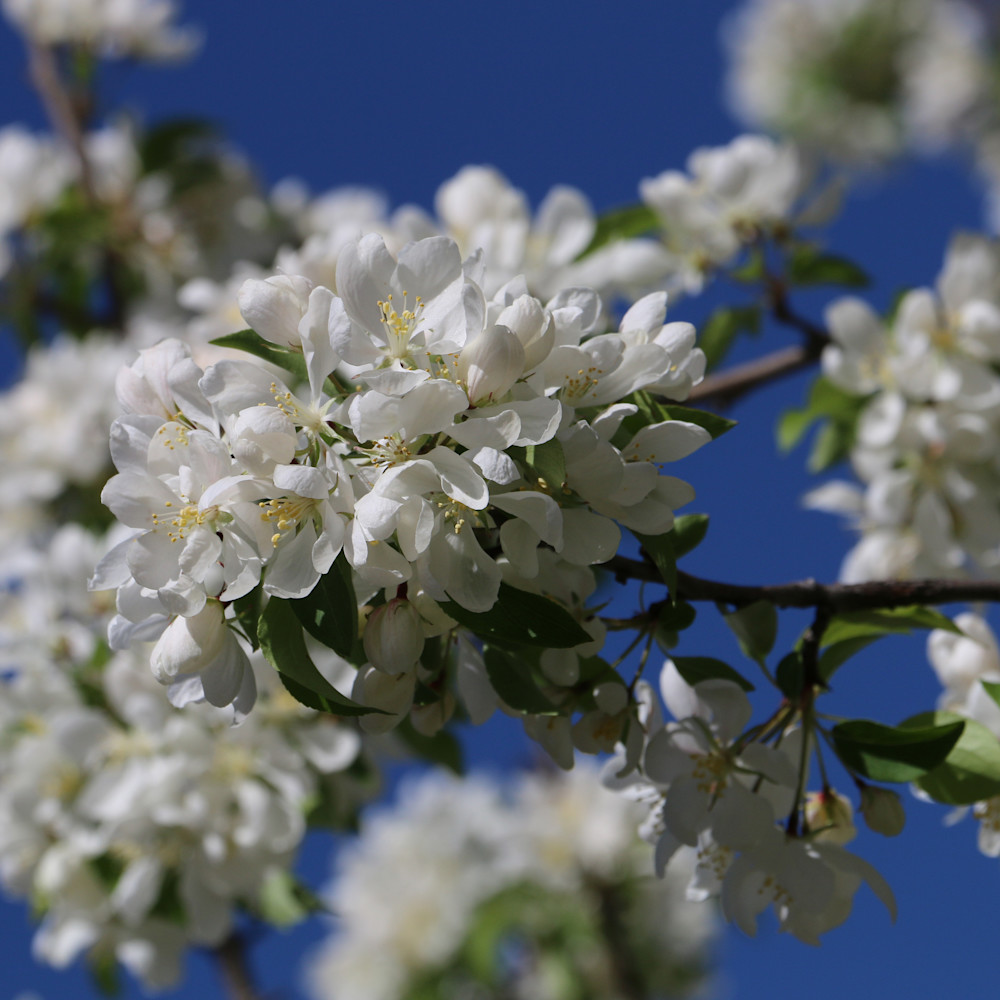 Elizabethmoore appleblossoms 6091 kuofw2