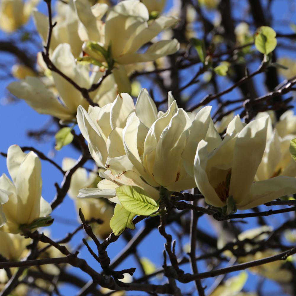 Elizabethmoore magnoliablossoms 6101 fonzts