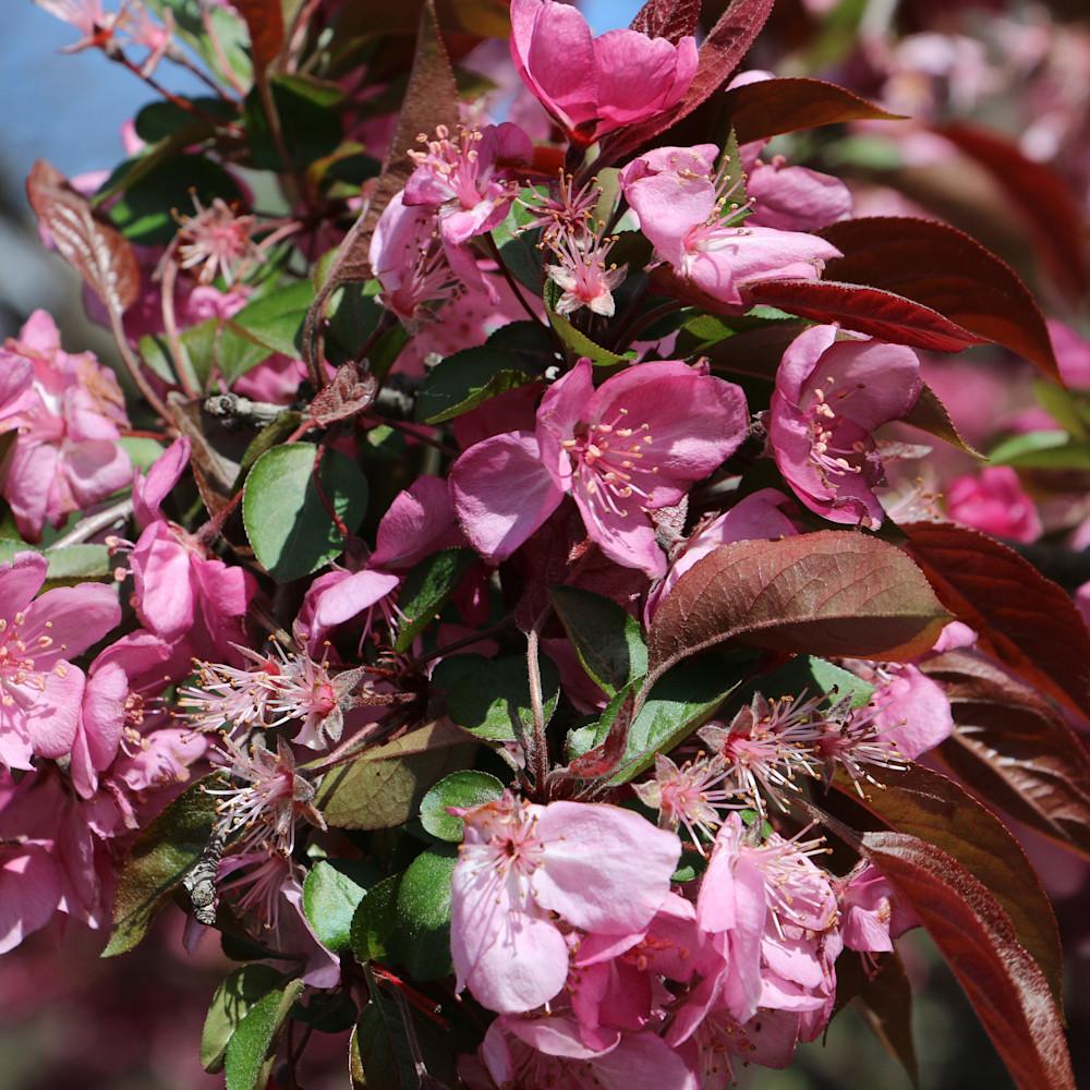 Elizabethmoore cherryblossoms 6086 lac245