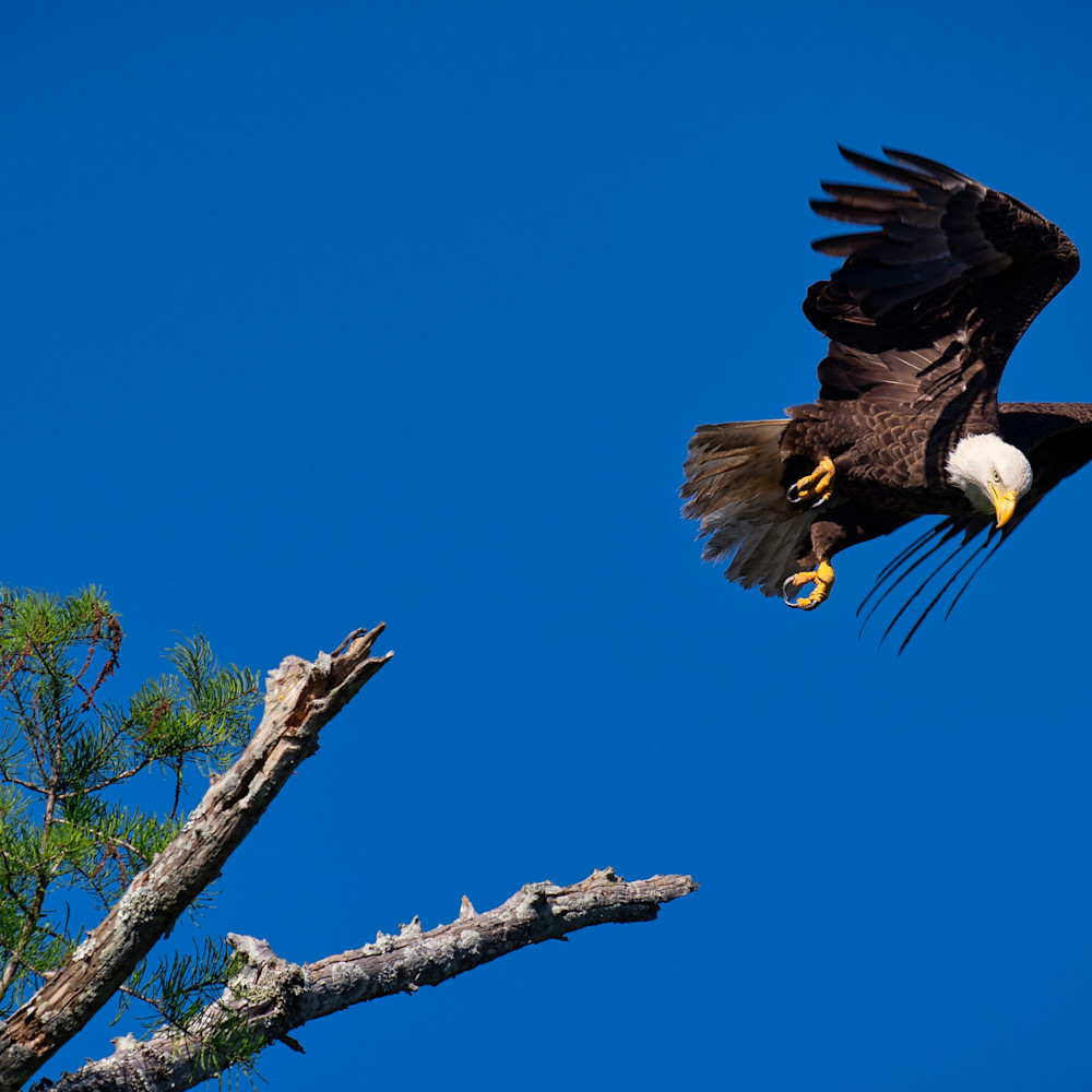 Andy crawford photography bald eagle blind river 1 e3jxml