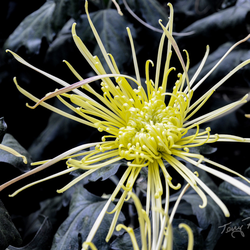 Spider flower rszmll