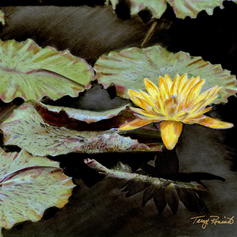 Water lily 3 wyfwzk