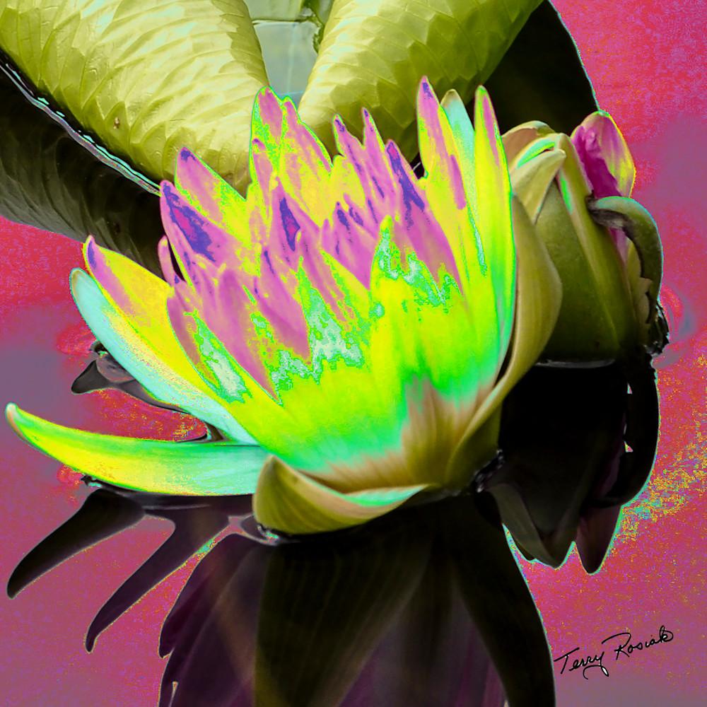 Lily pad funky 1 qcvbk1