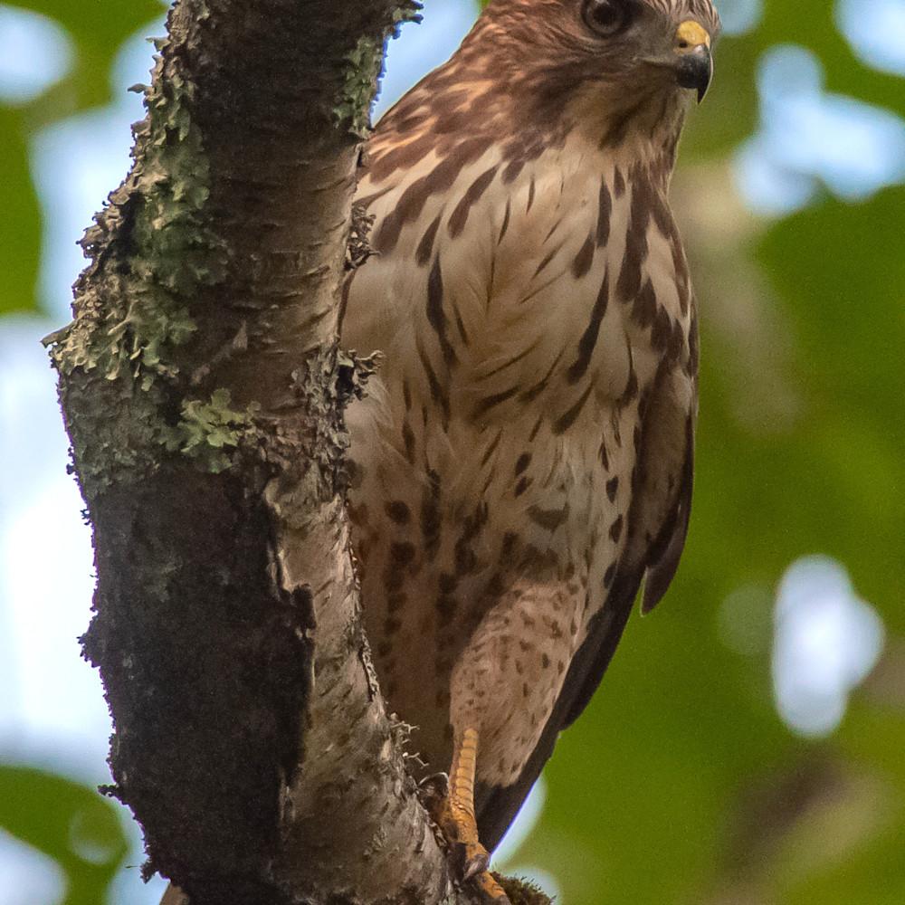 Broad winged hawk qvertf