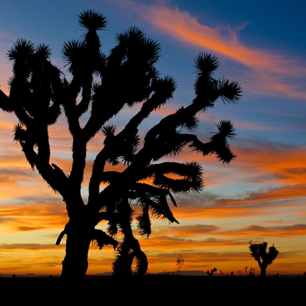 Joshua tree mojave desert sunrise california ngwexf