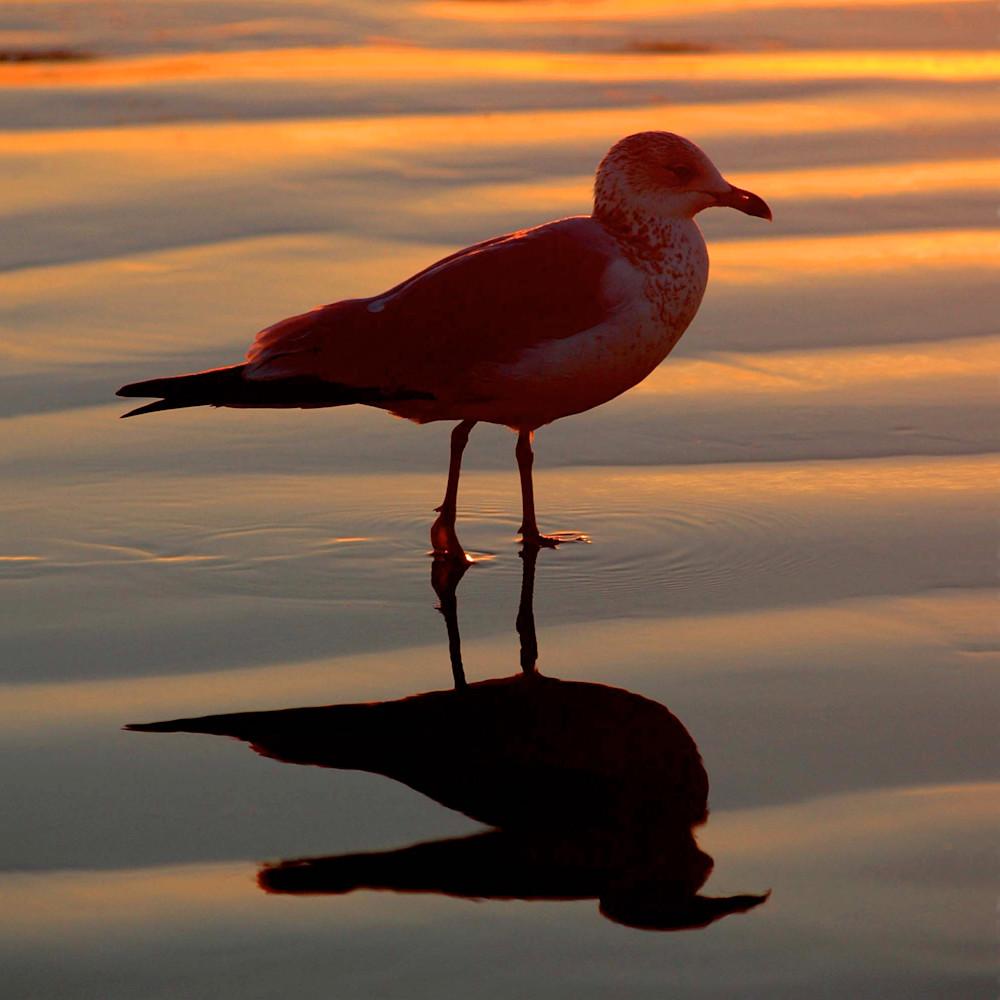 Seagull silhoutte orange sunset huntington beach ca jxilgv