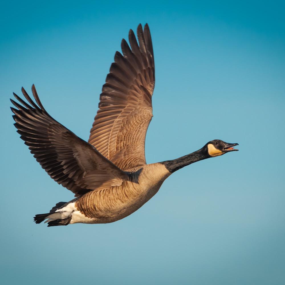 Canada goose wzesnc