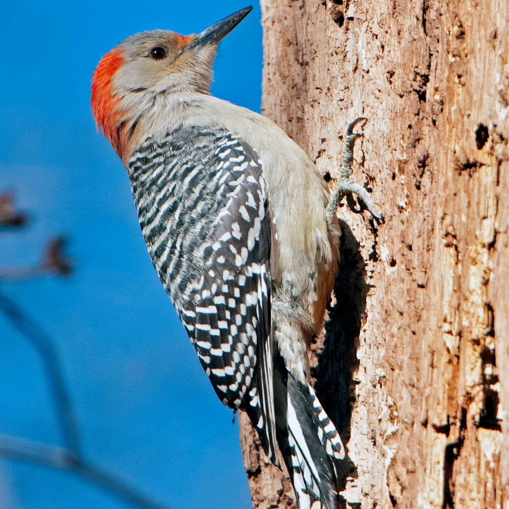 Red bellied woodpecker f mxvuvx