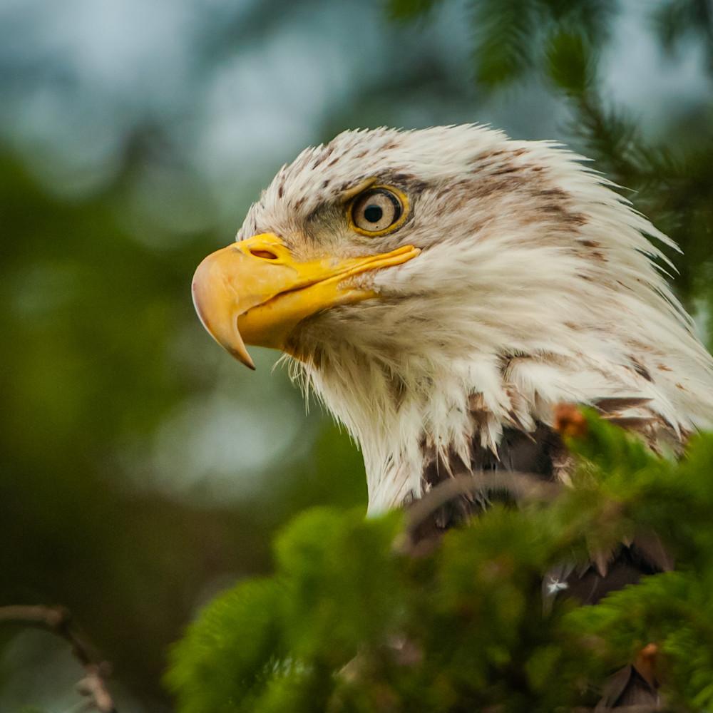 Bald eagle portrait kugpgq
