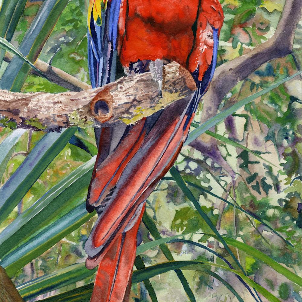 Scarlet macaw asf print lnsv8g