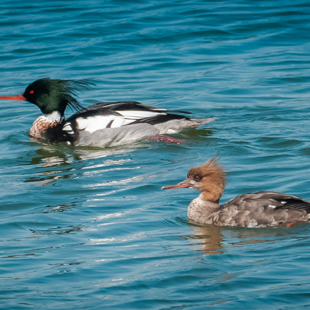 Red breasted mergansers bmbgsy