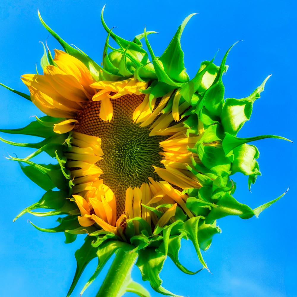 Sunflower 06 offxxw