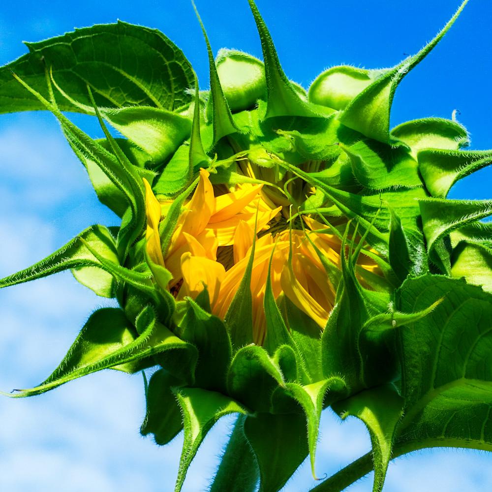 Sunflower 11 x547xe