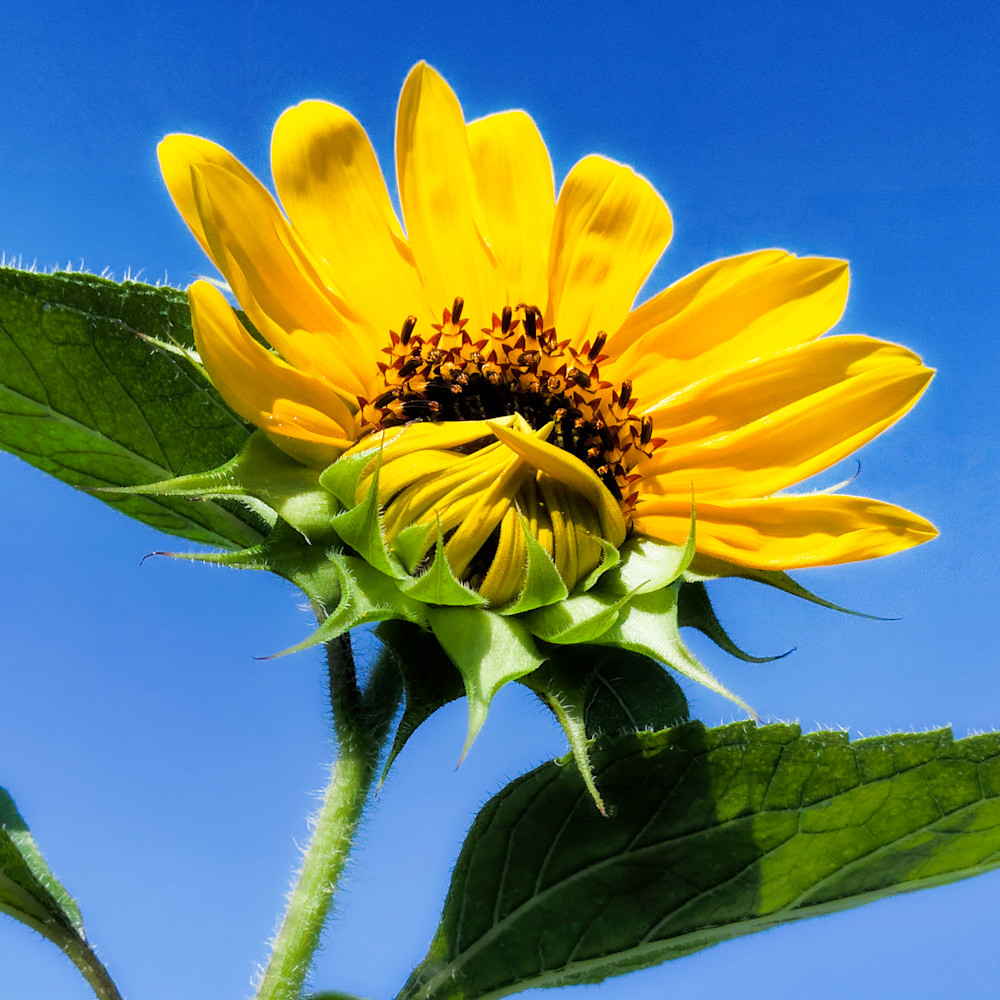 Sunflower 07 msuofk
