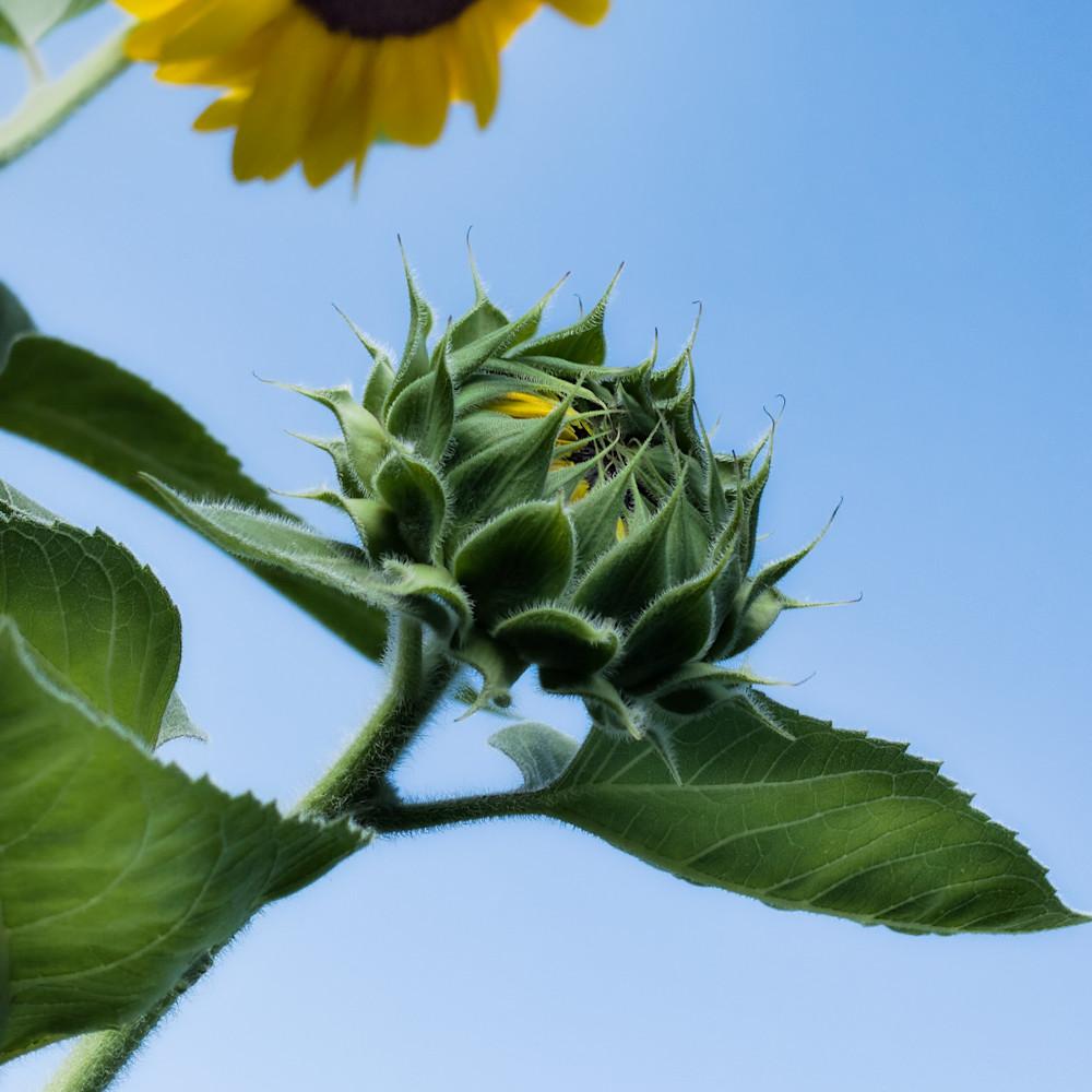 Sunflower 12 yhykyc