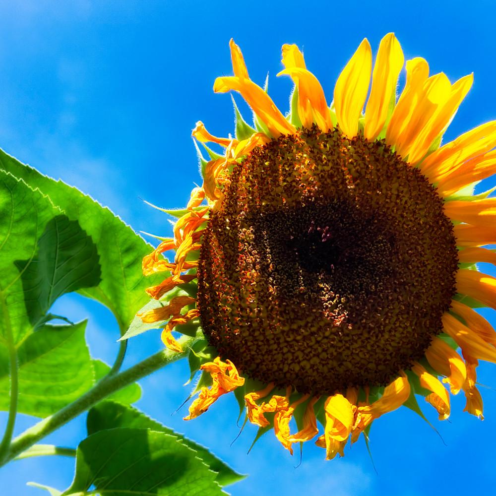 Sunflower 24 wyhkv3