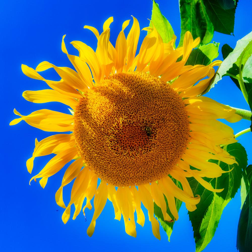 Sunflower 22 idrinv