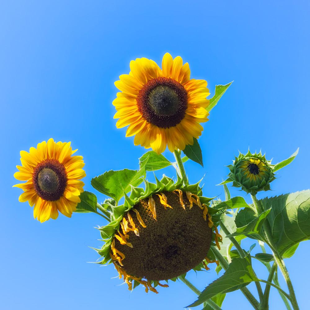 Sunflower 21 tbbwfj