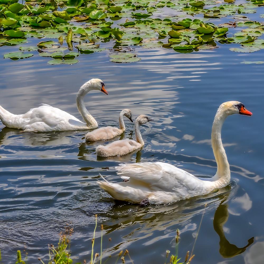 Four swans a swimming 5369 rerwae