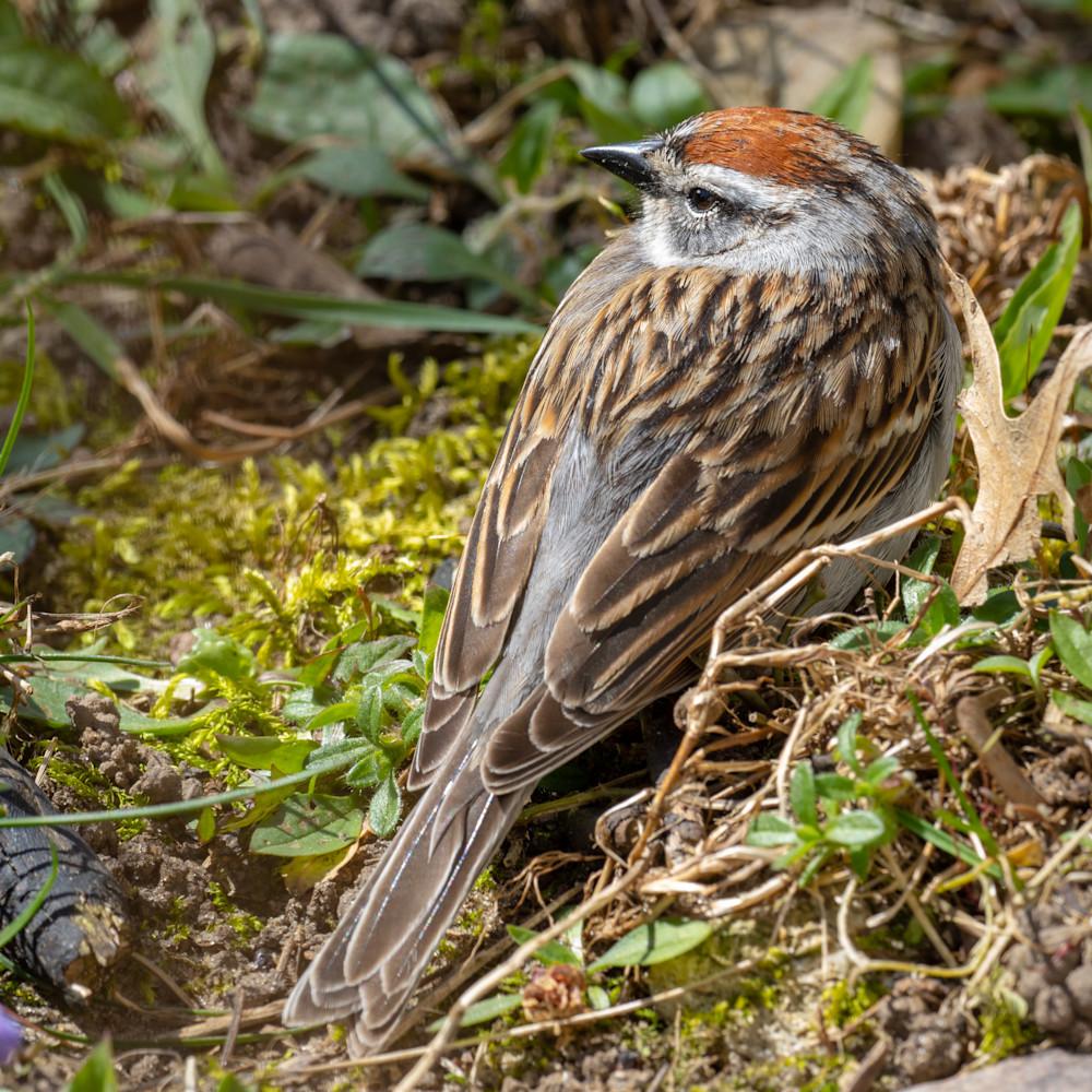 Chipping sparrow o2569 zbmmdd