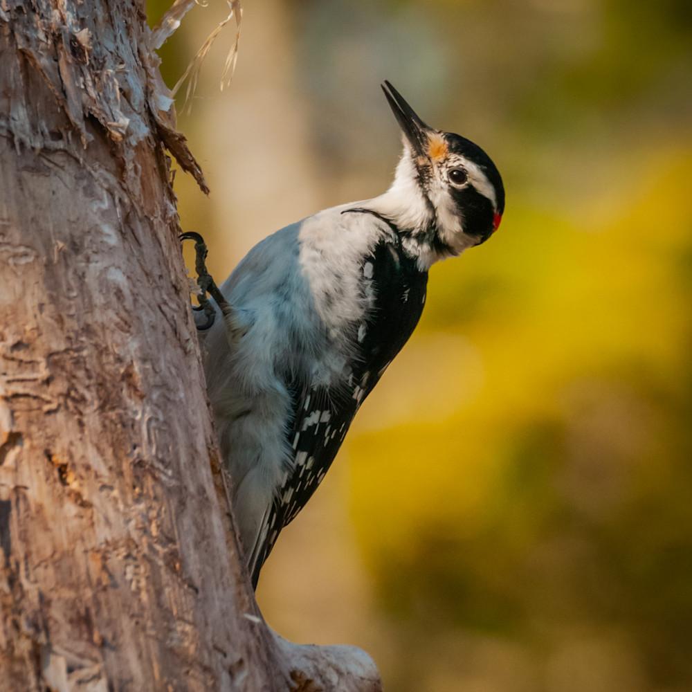 Hairy woodpecker crsyyf