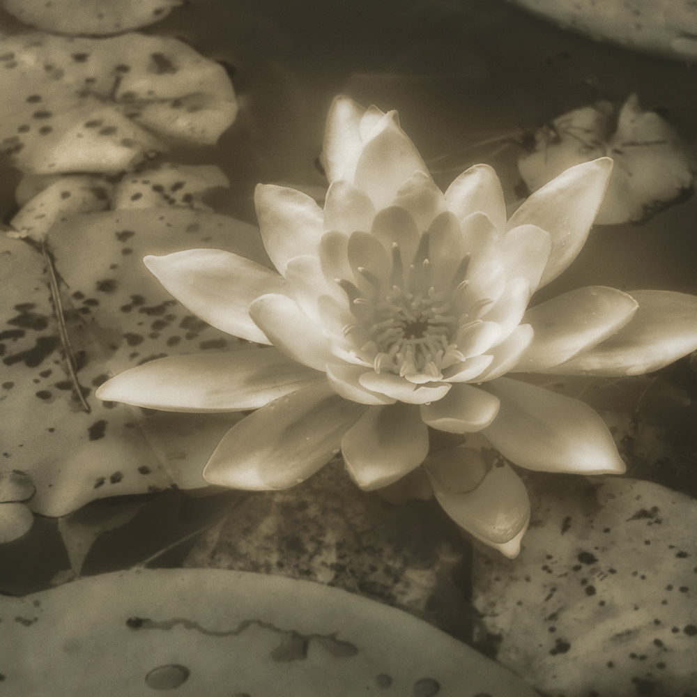 Water lilly 01 n11vrb