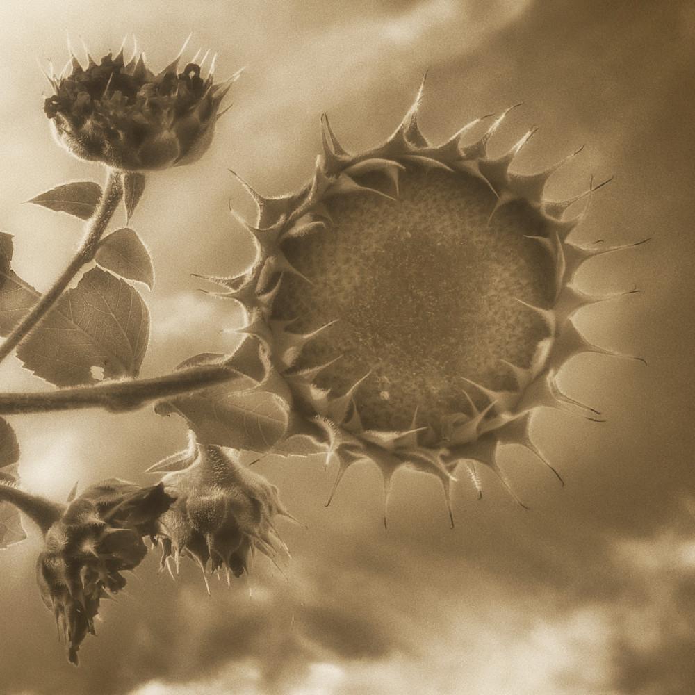 Msp sunflowers cw01 qfjmqx