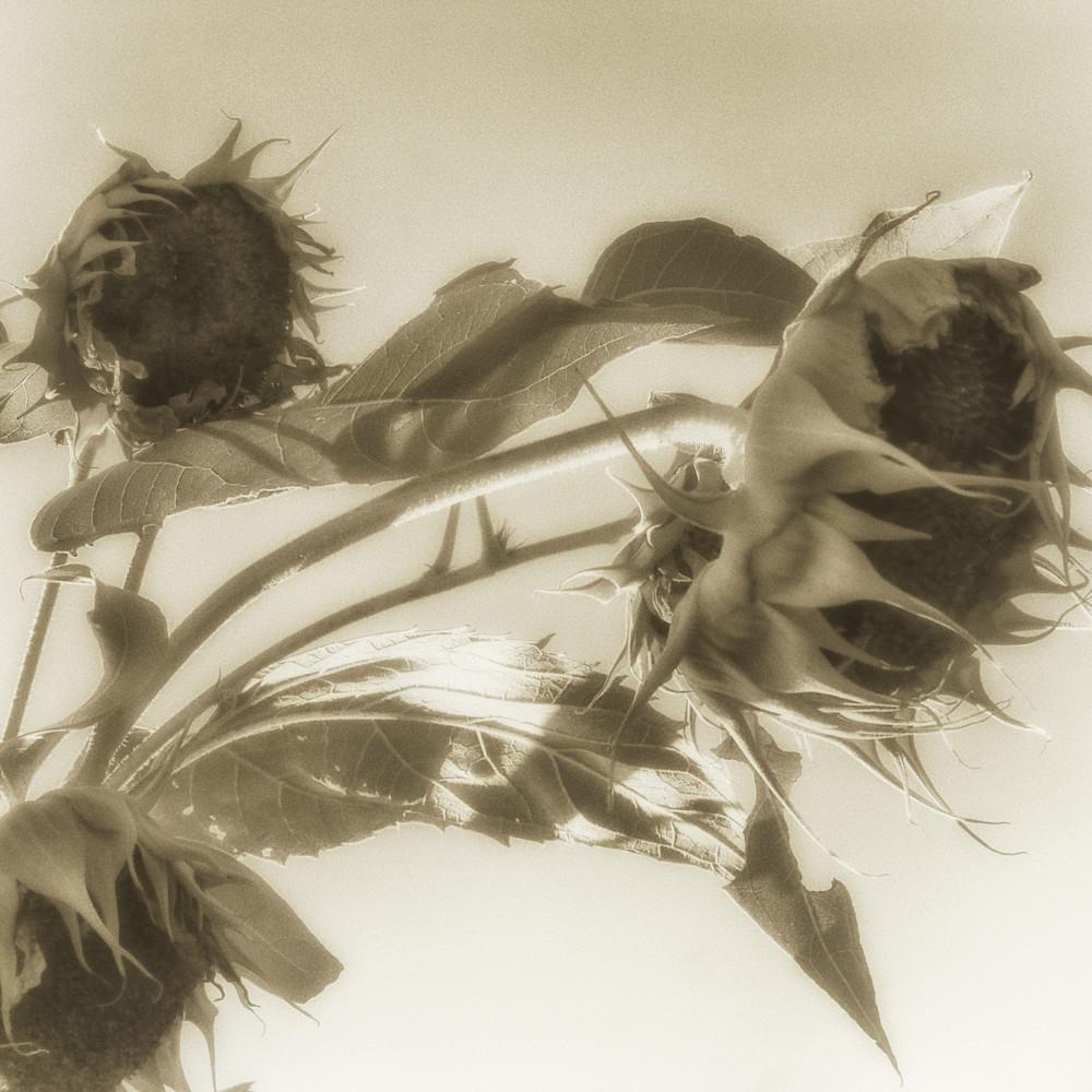 Msp sunflowers cw02 vy1de5