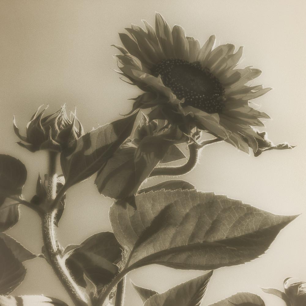 Msp sunflowers cw05 dh84oy