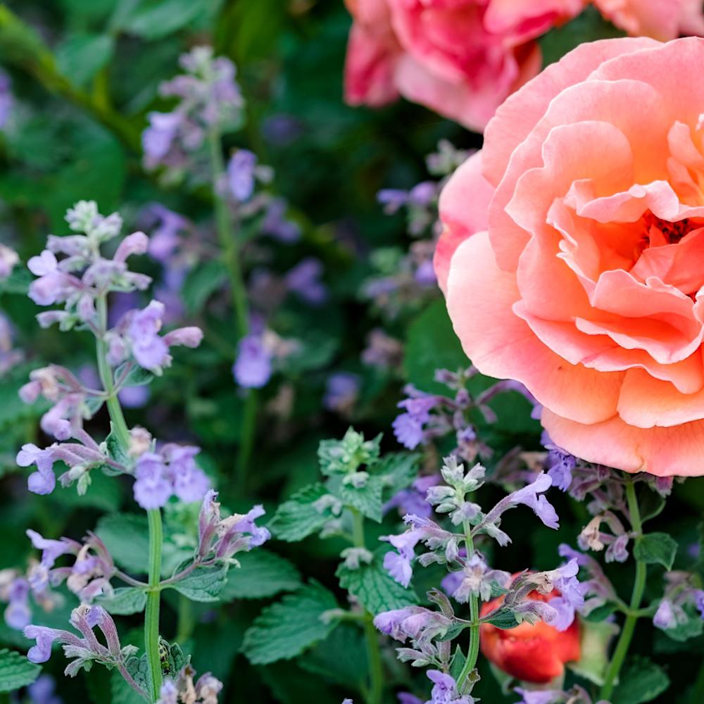 April roses 1 vqso7q