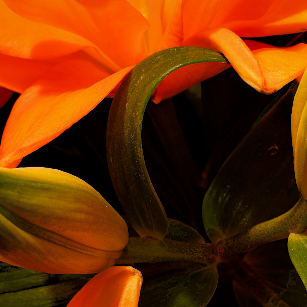 Asiatic lily 1 lvwck8