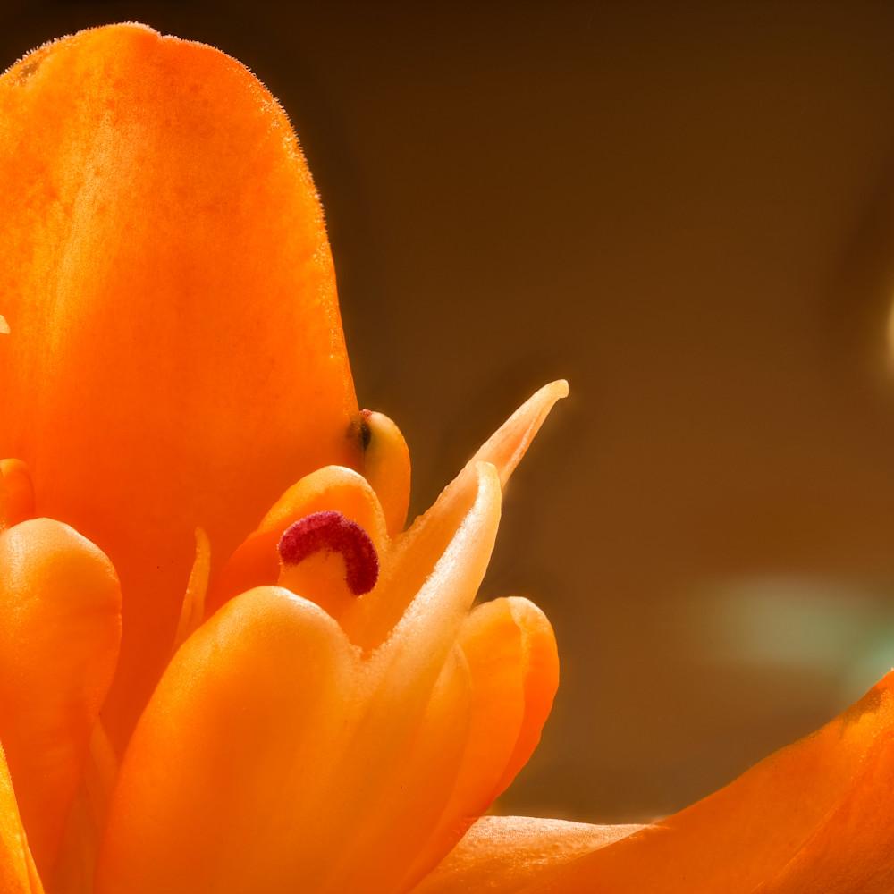 Asiatic lily focus 3 lq7tyc