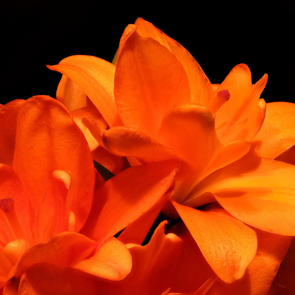 Asiatic lily focus 16 k5fevb
