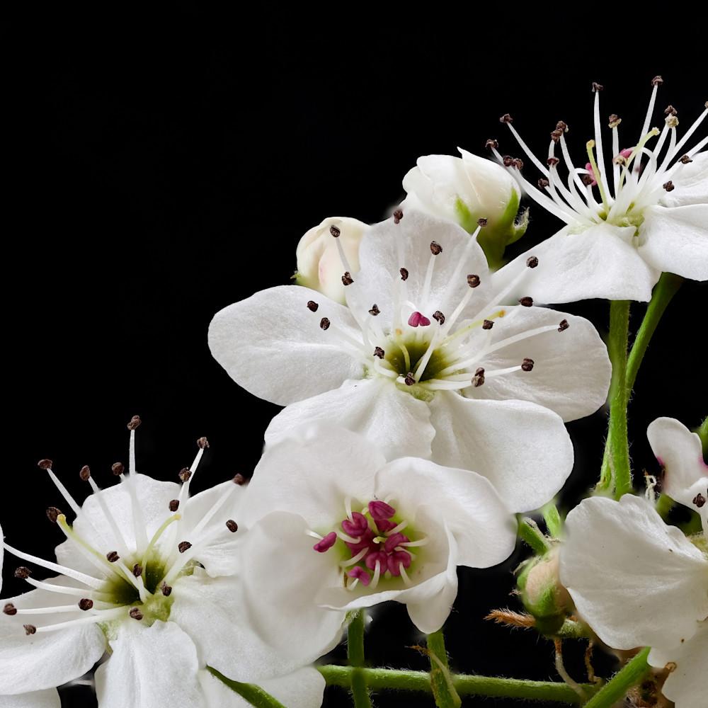 Blossoms focus 3 q7zfpl
