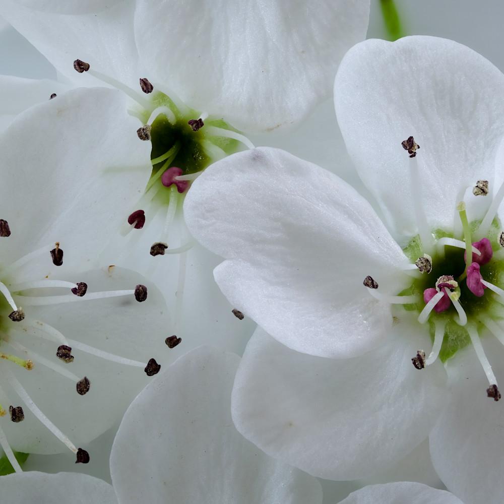 Blossoms focus 11 s5iltk