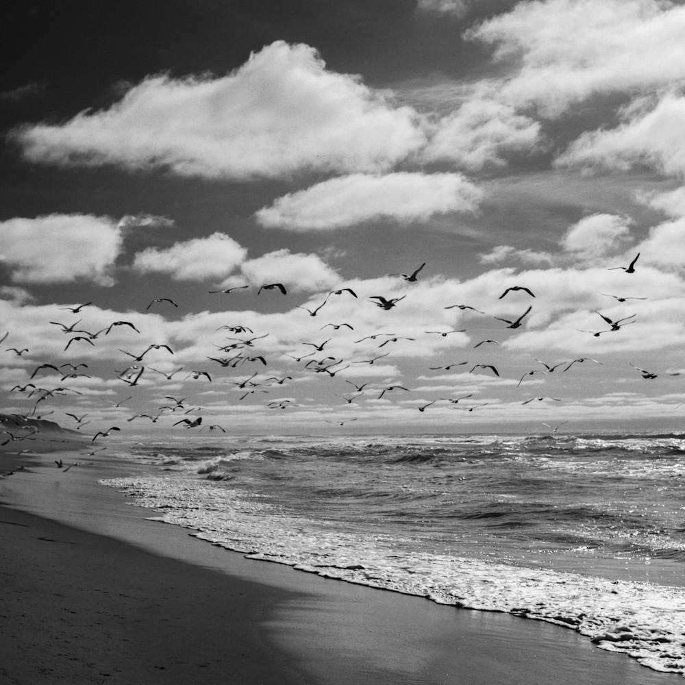 Seagulls guadalupedunes rtpr1u